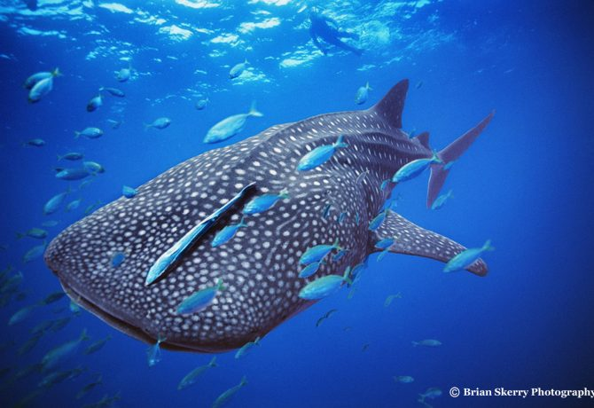 Brian Skerry Whale Shark